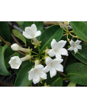 Marsdenia condurango